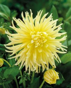 Dahlia Fringed yellow star 71885
